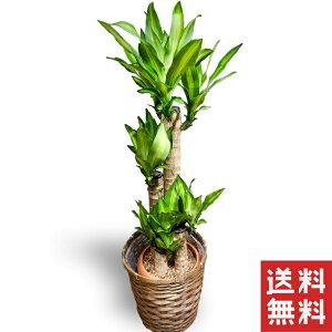 幸福の木 ドラセナ マッサンゲアナ 鉢植え 送料無料 薫る花 観葉植物 おしゃれ インテリアグリーン 大型 中型 カゴ付き