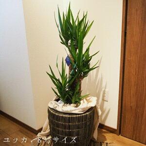 ユッカ 8号サイズ 8寸 鉢植え 送料無料 薫る花 観葉植物 おしゃれ インテリアグリーン 大型 中型 カゴ付き