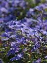 芝桜・シバザクラ(紫/オーキントンブルーアイ)1P