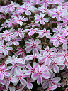芝桜・シバザクラ(タマノナガレ)25P