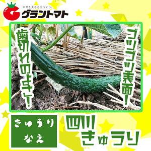 四川キュウリ苗 1ポット【生産農場直送】
