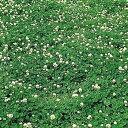 フィア(Rh) 500g しろクローバー種子(白クローバー)【取寄商品】