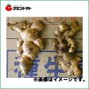 近江生姜種子 800g 大型しょうが