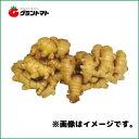 三州生姜種子 600g 中型しょうが