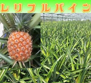 レリフルパイン 桃香 【最高級品パイナップル】(2個)