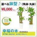 幸福の木(ドラセナ)8号プラ鉢(約120cm)【送料無料】観葉植物/新築祝い/開店祝い/誕生日プレゼント/結婚祝い/引越し祝…