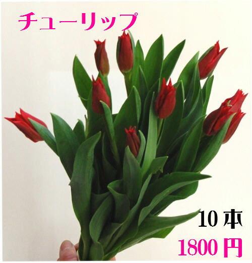 チューリップ赤 10本【RCP】【HLS_DU】お正月 松 千両 迎春