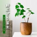 野ぶどう苗木(3年以上のもの)×2本