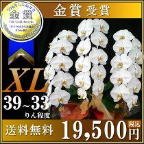 胡蝶蘭白3本立ちXL39〜33りん
