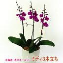 赤平長持ち胡蝶蘭ピンクミディ2株3本仕立て【満天紅】