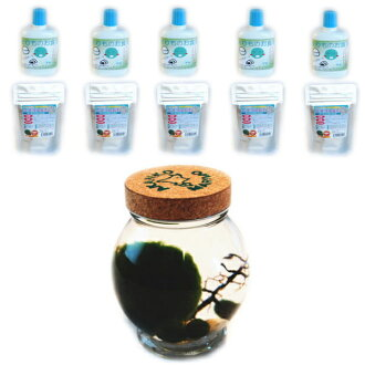 Cultured and natural marimo 1 marimo 3 pieces and marimo dining 5 piece with mineral ore 5 pieces of also training set