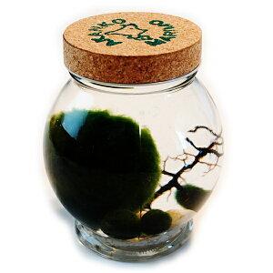 送料無料 天然まりも(外国産)のビックサイズ1個と養殖まりも3個入り(コルク瓶)(まりも飼育説明書付) [水草 植物 アクアリウム 初心者 簡単 育成 ガラス瓶 誕生日プレゼン