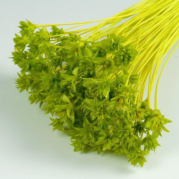 ミニコーンフラワー グリーン <ドライフラワー・フラワーアレンジメント・花材・花資材>