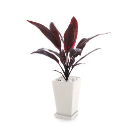観葉植物 コルディリネ アイチアカ S
