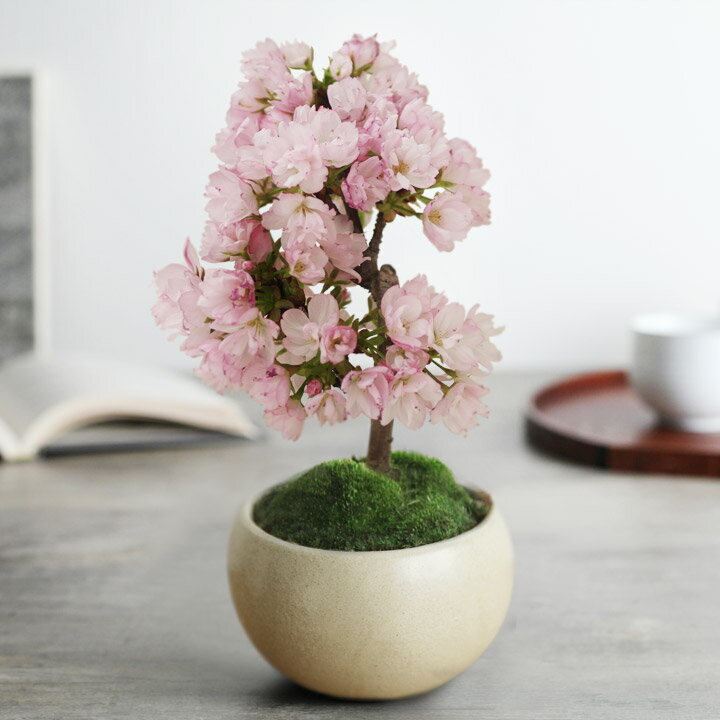 旭山桜の盆栽 (ぼんさい/ミニ盆栽/桜盆栽)【送料無料】