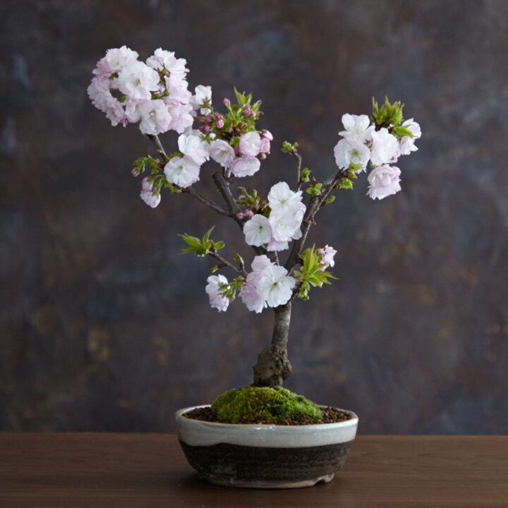南殿桜の盆栽 (なでん/南殿/ぼんさい/ミニ盆栽/桜盆栽)【送料無料】