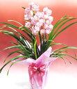 ランの鉢植えシンビジウムピンク【品質保証★花】