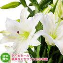 花 ギフト【送料無料】タイムセール豪華なカサブランカの花束♪ 百合 タイムセール