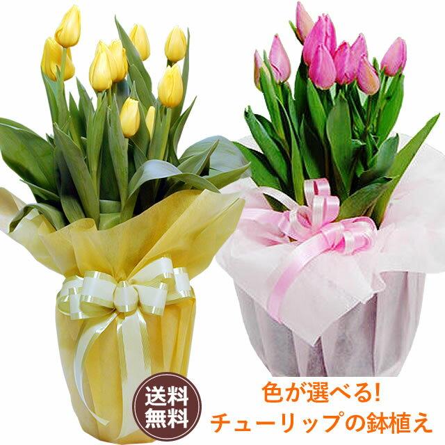 【バレンタイン特集】鉢植えチューリップピンク・イエロー