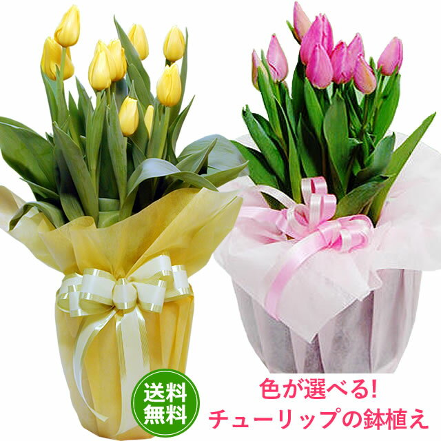 【送料無料】スプリング花 ギフト チューリップ鉢植えピンク・イエロー ホワイトデー 卒業 お祝い