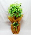 【お中元・サマーギフト】観葉植物ベンジャミン6号鉢
