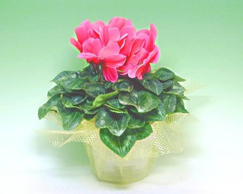 シクラメンの鉢植え鮮やかなピンク5号 お正月 鉢植え