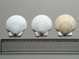 ほたて貝殻皿(最大径約9.5cm・100枚)【ほたて貝殻焼成カルシウムの店】