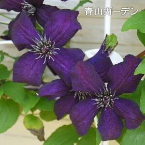 クレマチス 苗 大鉢 / ダーク・アイズ /B