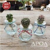 サボテンクラゲ3個・クラックサボテンとバリガラスお部屋で簡単人気の水耕栽培