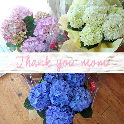 母の日プレゼント鉢花あじさい早割母の日プレゼントブルーホワイトピンク人気の品種