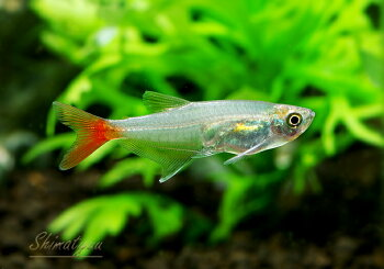 【熱帯魚】グラスブラッドフィン