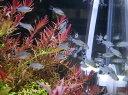 限定10セット!!【コリドラス・ショートノーズ系】コリドラス ハステータス 50匹セット+死着保証分5匹の計55匹で!大特価!!≪熱帯魚 観賞魚 飼育≫