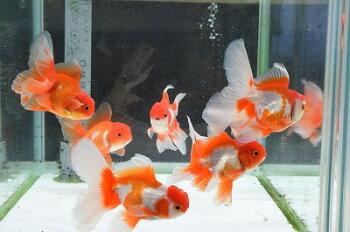 【金魚】黒ランチュウGOODサイズ!≪熱帯魚観賞魚飼育≫