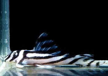 【プレコ・小型プレコ系】インペリアルダップルドA-7≪熱帯魚観賞魚飼育≫