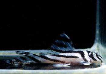 【プレコ・小型プレコ系】wildインペリアルゼブラプレコ4.0-5.9cm神戸店在庫ワイルド個体≪熱帯魚観賞魚飼育≫