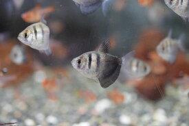 【熱帯魚】ブラックテトラ10匹セットセール価格!神戸店在庫