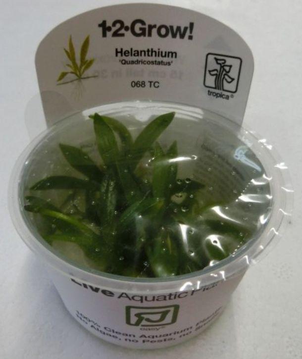【組織培養水草】トロピカ社 1・2・GROW! チェーンアマゾンソード神戸店在庫