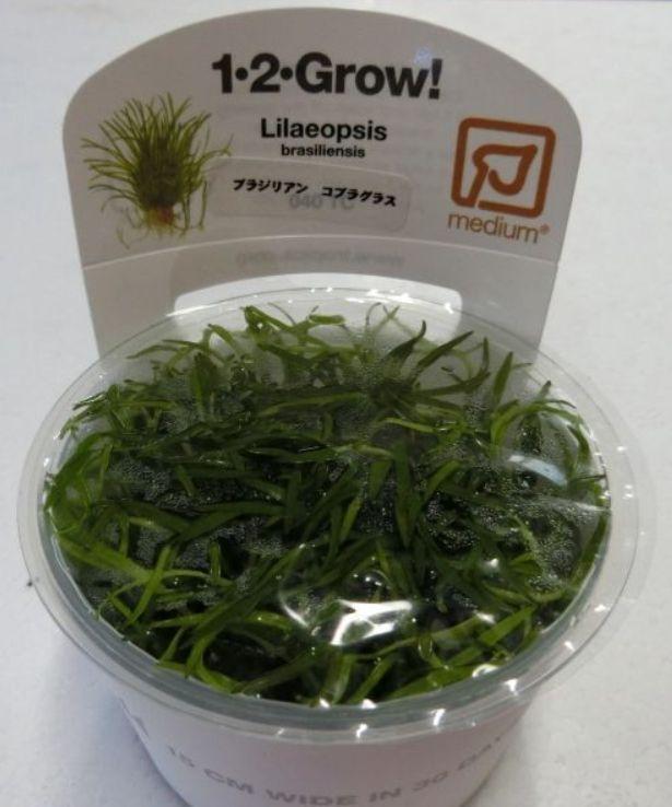 【組織培養水草】トロピカ社 1・2・GROW! ブラジリアン コブラグラス神戸店在庫