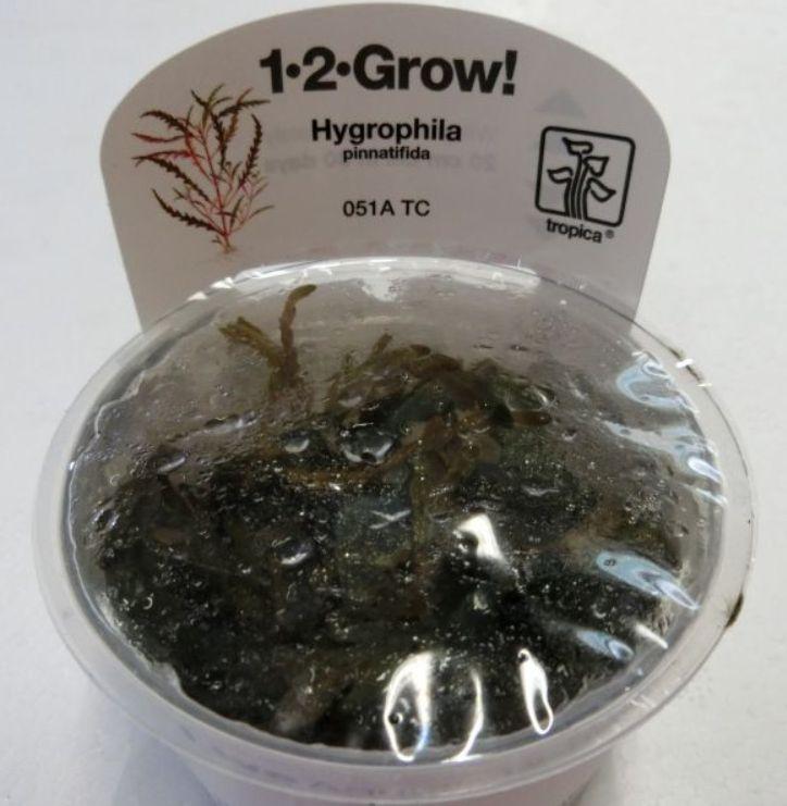 【組織培養水草】トロピカ社 1・2・GROW! ハイグロ ピナティフィダ神戸店在庫