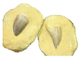 天然化石 母岩付きモササウルス歯化石 モロッコ産 1個売り プチギフト 転勤 退職 お礼 母の日 敬老の日 ギフト