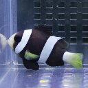 クロクマノミ 海水魚 クマノミ 15時までのご注文で当日発送【クマノミ】