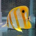 ハシナガチョウ(チェルモ) 8-10cm !海水魚 チョウチョウウオ 15時までのご注文で当日発送【チョウチョウウオ】