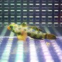 スポテッドマンダリン 4-6cm± !海水魚 ネズッポ15時までのご注文で当日発送【ネズッポ】