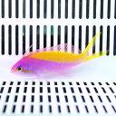 カーベリーアンティアス 5匹セット!5-7cm± 海水魚 ハナダイ 餌付け 15時までのご注文で当日発送【ハナダイ】