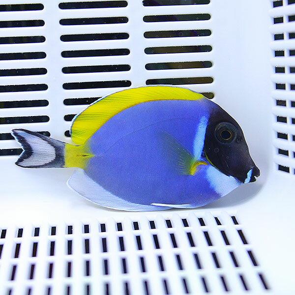 パウダーブルータン 7-9cm±! ハギ 海水魚 死着保証アリ15時までのご注文で当日発送【ハギ】