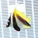 オニハタタテダイ 8-10cm±! 海水魚 チョウチョウウオ 餌付け!15時までのご注文で当日発送【チョウチョウウオ】