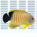 エイブリーエンゼル 4-6cm± ! 海水魚 ヤッコ15時までのご注文で当日発送【ヤッコ】