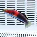 キャサリンフェアリーラス 6-8cm± 粒餌OK! 海水魚 生体 15時までのご注文で当日発送【ベラ】