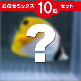 チョウチョウウオ MIX 10匹セット!海水魚 生体 チョウチョウウオ 15時までのご注文で当日発送【チョウチョウウオ】