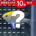 スズメダイ MIX 10匹セット!海水魚 生体 ススメダイ 15時までのご注文で当日発送【スズメダイ】